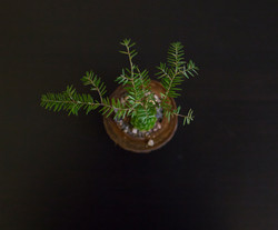 Cherry Wood Bonsai