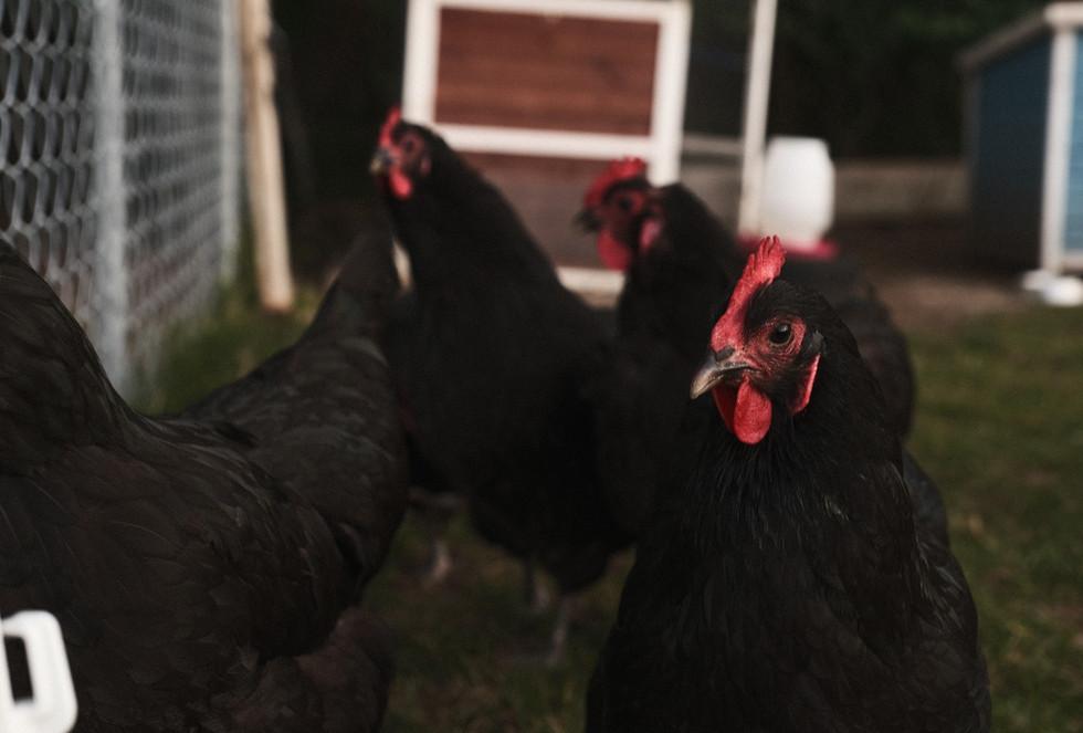 Momma Chicken