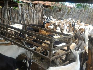 Procase incentiva a caprinovinocultura em comunidades do semiárido paraibano
