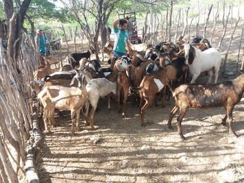 Procase realiza entrega de animais a produtores do Curimataú paraibano