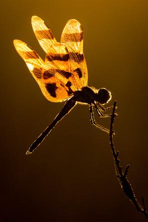 Dragonfly yellow-2.jpg