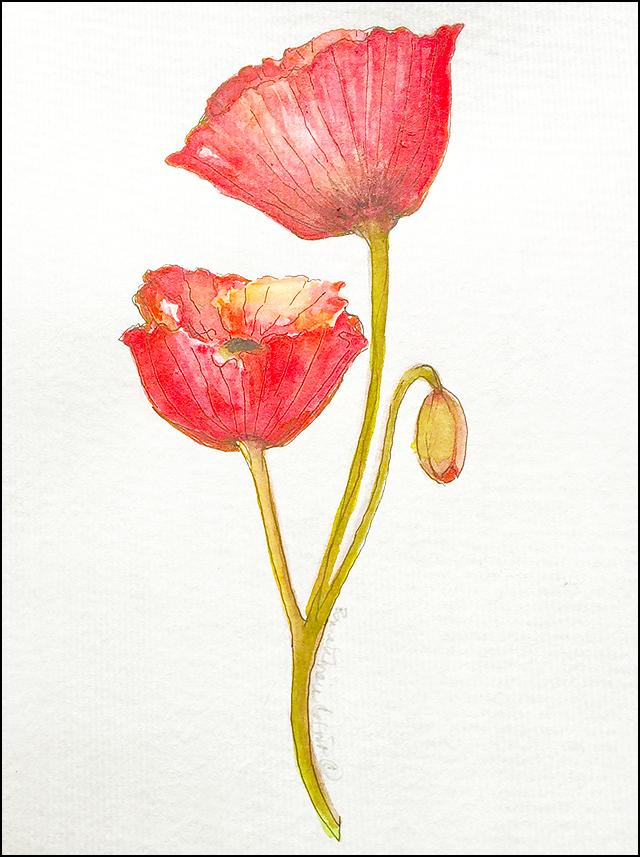 Poppies 5x7