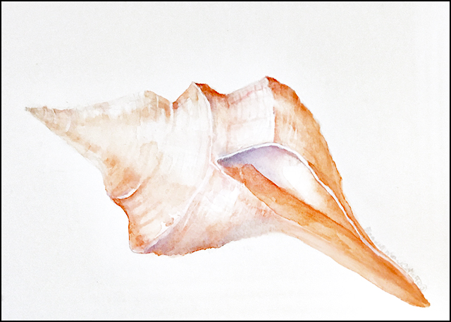 Horse Conch Shell 9x12