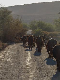 Marching buffalos