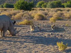 Rhino & Lions