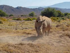 Rhino kicking dust