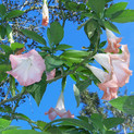 Angel Trumpets blooming Jan 13.jpg