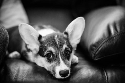 Little corgi puppy