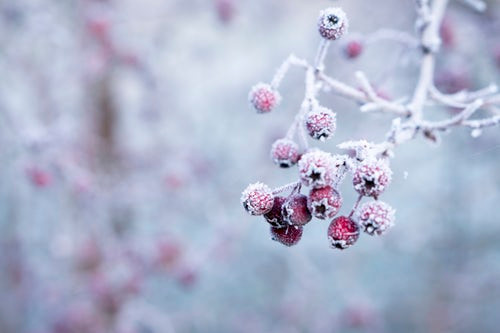 Frozen red berries on a frost-covered branch