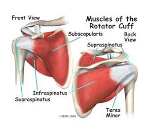 שרירי השרוול המסובב (Rotator Cuff muuscles) - מייצבי הכתף