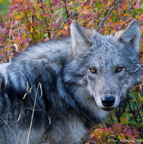 Are Coyotes Artificial Selection Or Natural