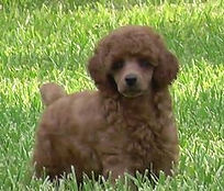 Galvez Red Toy Poodle Champion (Sire).jp