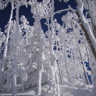 Frosty Aspen II
