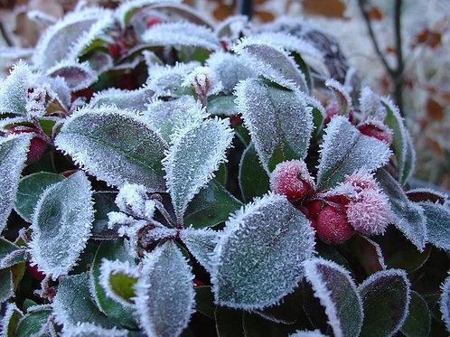 Wintergreen e-liquid