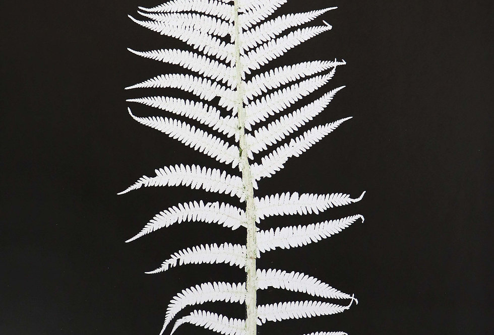 Scaly Male Fern - Large