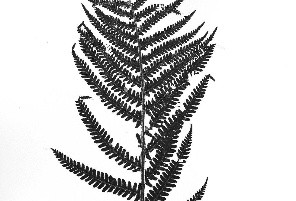 Scaly Male Fern - Small