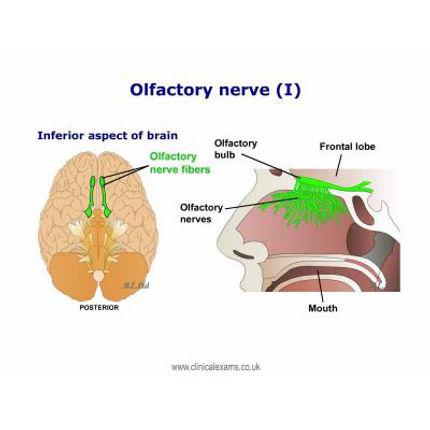 Olfactory nerve.jpg