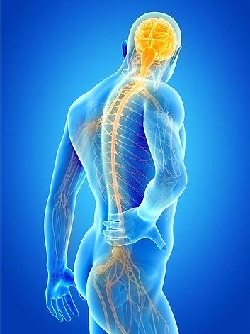 Body and nerves.jpg