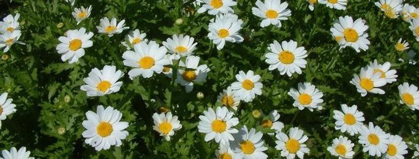 Leucanthemum Snowland