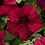 Thumbnail: Petunia Supercascade