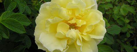 Topaz Jewel Rose