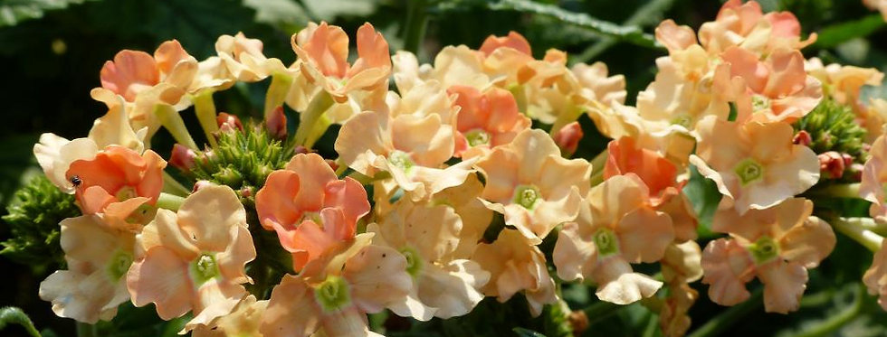 Verbena Annual