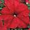 Thumbnail: Petunia Grandi