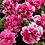 Thumbnail: Petunia Double