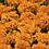 Thumbnail: Marigold