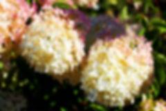 Little Lamb Hydrangea.jpg