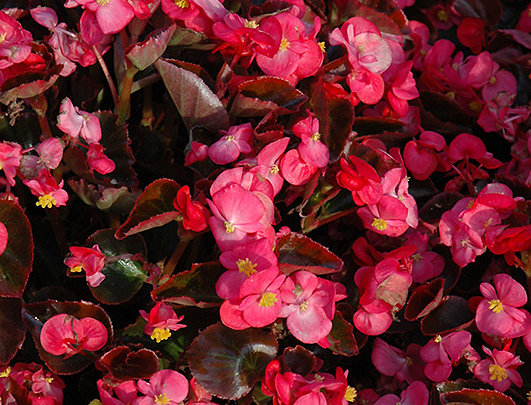 Begonia Fibrous
