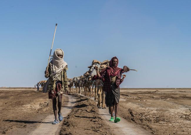 שיירת הגמלים  בדרכם  מהמדבר אל העיר הגדולה כדי למכור את גושי המלח הענקיים והכבדים שהם סוחבים על גבם