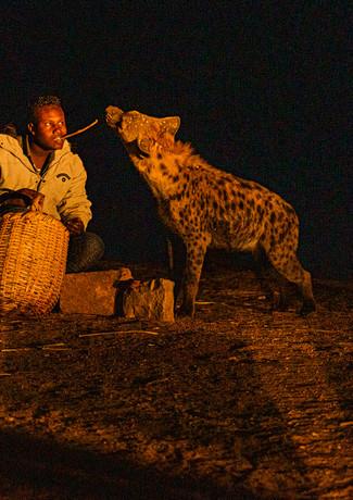 האכלת צבועים בבשר נא כדי שלא יטרפו את אנשי בכפר באתיופיה
