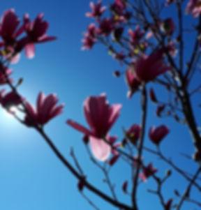 magnolia%20blossoms_edited.jpg