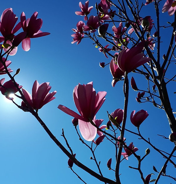 magnolia%20blossoms_edited.jpg