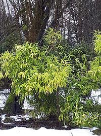 cowi bamboo.jpg