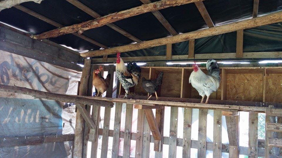 התרנגולות מבסוטות