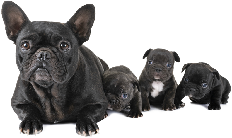 about-us-new-red-rock-french-bulldogs.pn