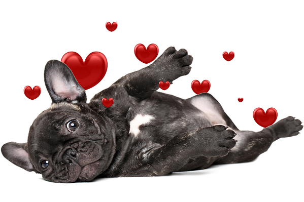 breed-info-la-jolla-french-bulldogs.png
