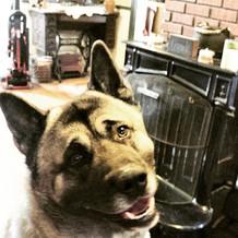 My new client Jericho.  Super nice dog.