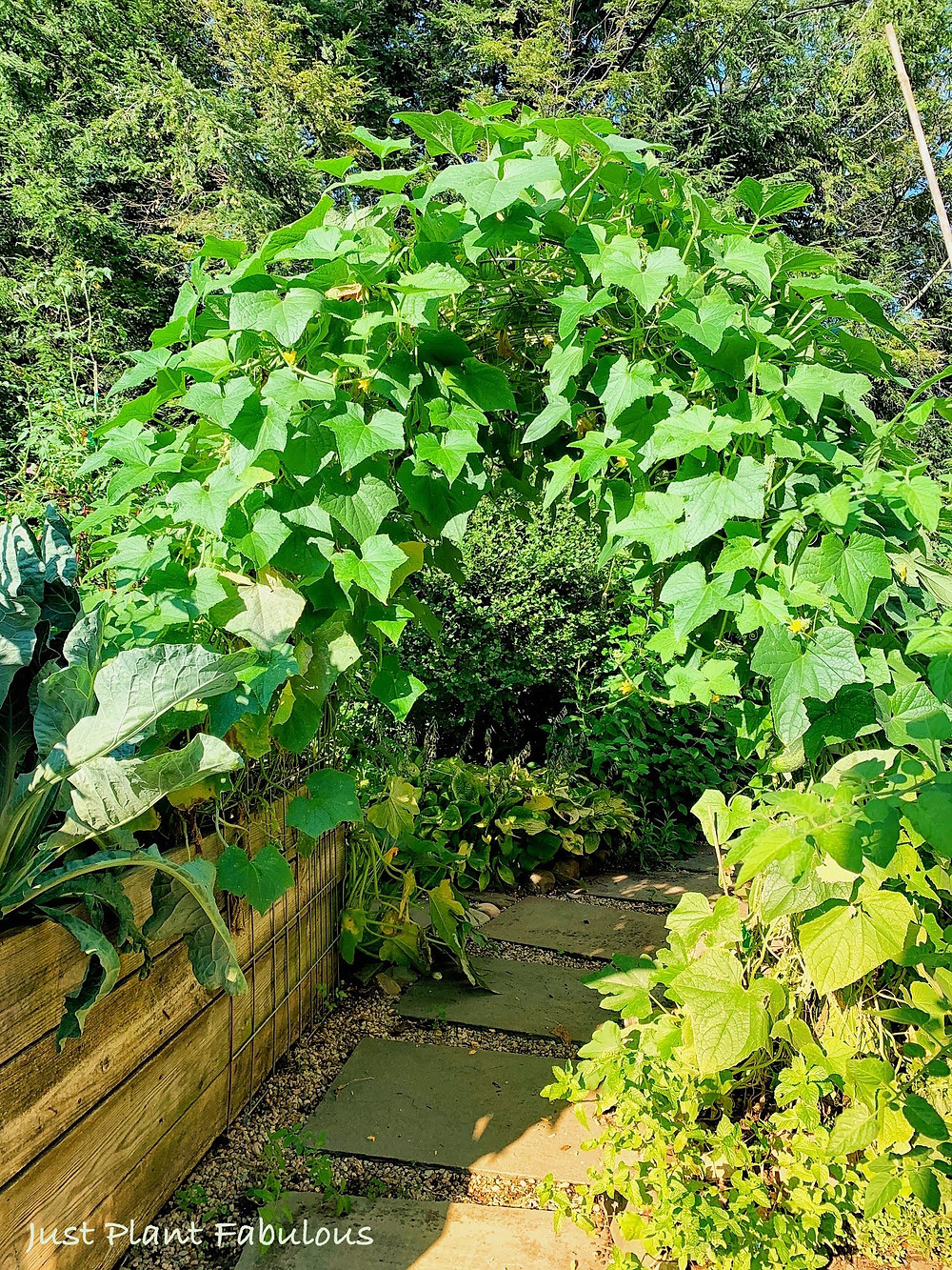 garden arch with cucumber plants