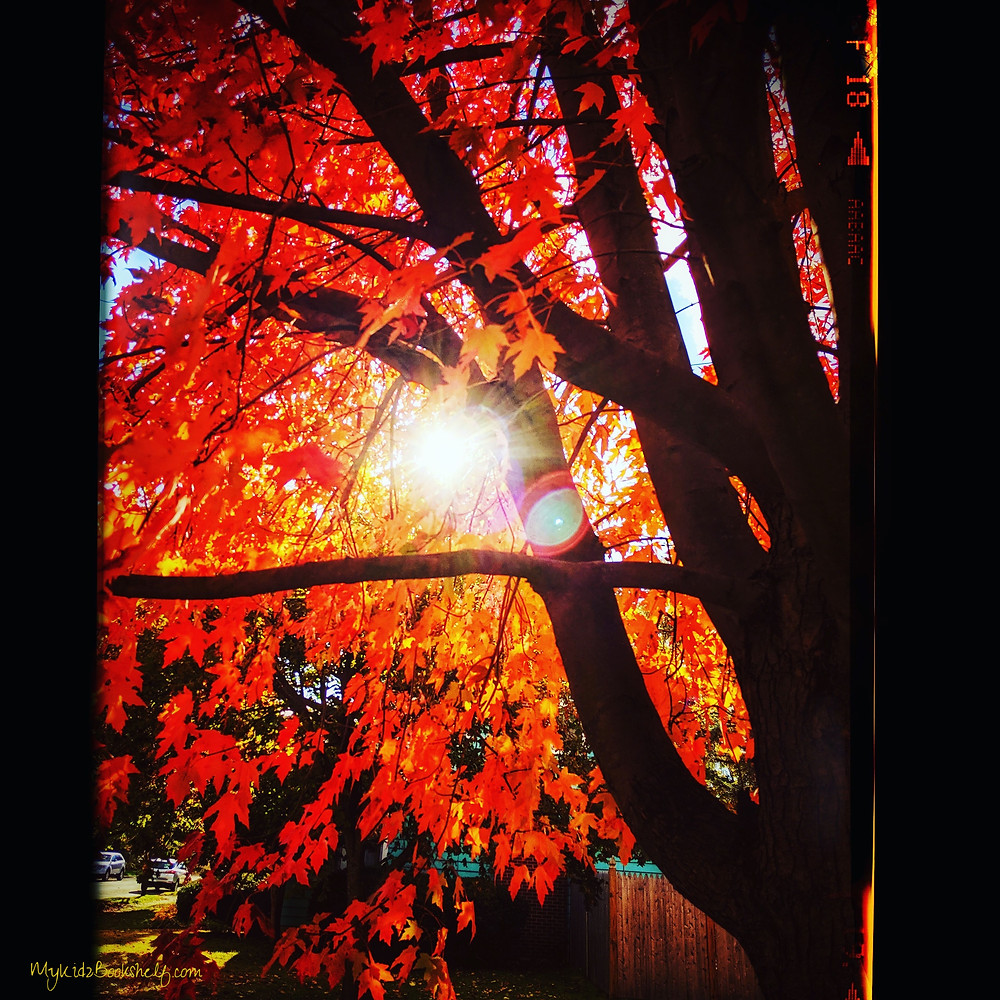 maple tree in the autumn brilliant red leaves with sun shining through