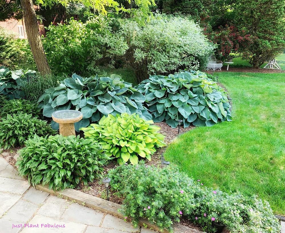 hostas and bird bath in garden