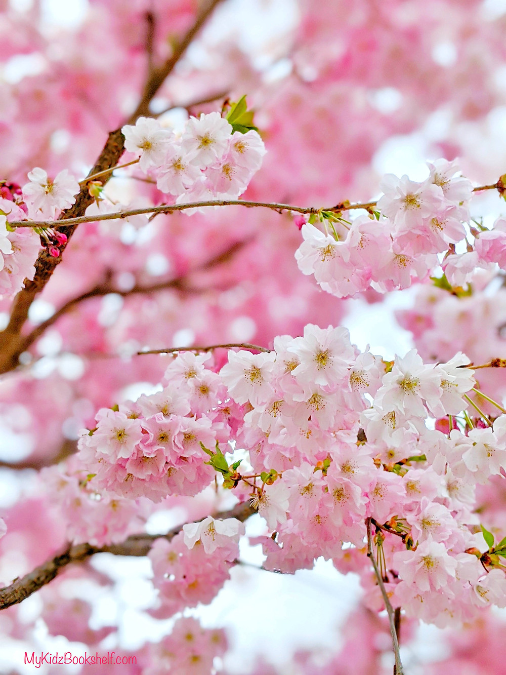 pink cherry blossoms on a tree branch
