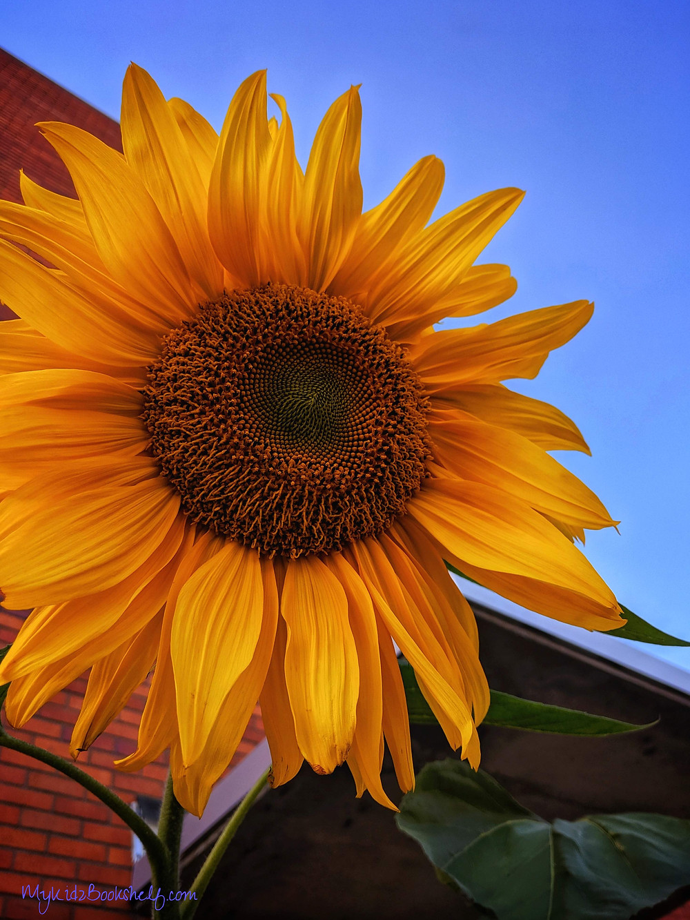 sunflower next to blue sky