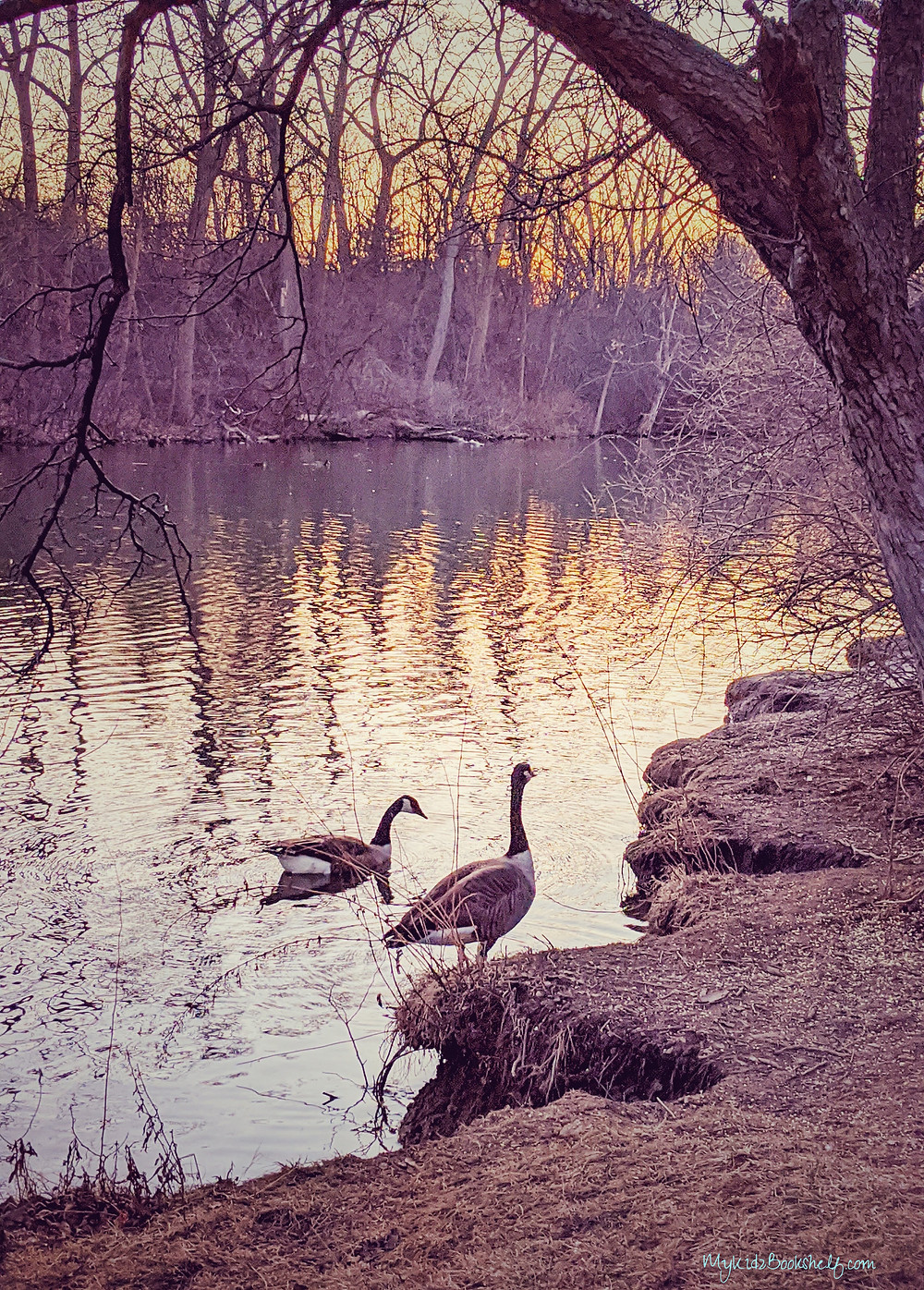 two geese by pond during sunset