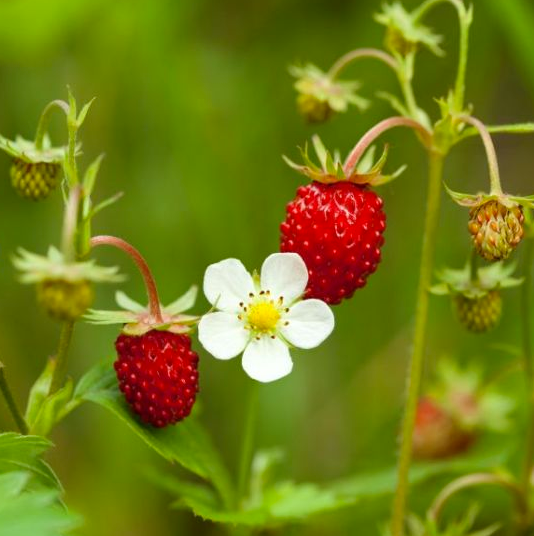 A closeup of a wild strawberry!