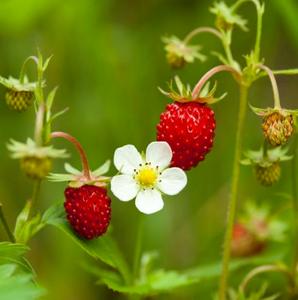 A closeup of a wild strawberry!