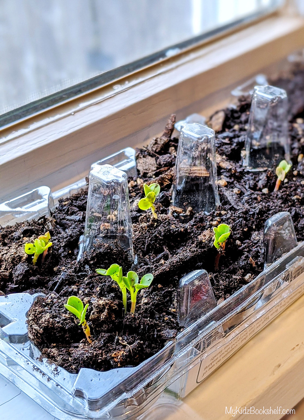 sprouting seedlings in an clear plastic egg carton with dirt sitting by a window on the sill