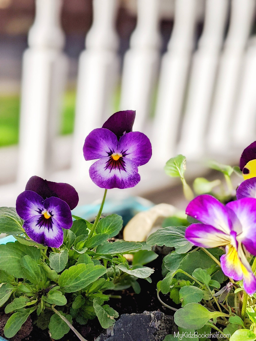 purple pansies with porch railing behind